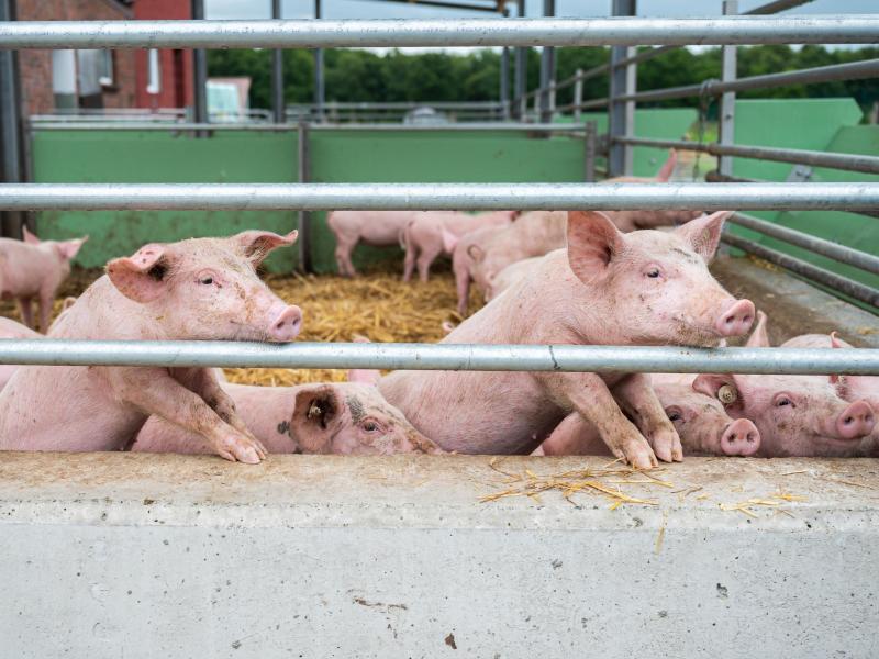 Das Eindringen der Afrikanischen Schweinepest nach Deutschland macht den niedersächsischen Schweinehaltern wirtschaftlich große Sorge. Foto: Mohssen Assanimoghaddam/dpa