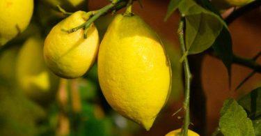 Konventionell angebaute Zitronen werden vor oder nach der Ernte mit Wachs und Pestiziden behandelt. Diese Schicht versiegelt die Zitronen. Diese Mittel dürfen bei Bio-Zitronen nicht verwendet werden. Daher schimmeln sie eher. Foto: Andrea Warnecke/dpa-tmn