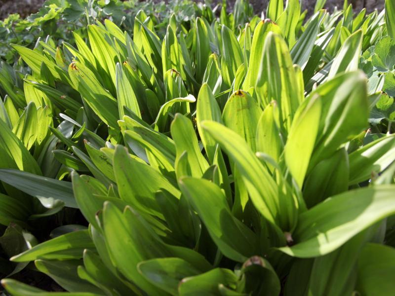 Die Blätter der Herbstzeitlosen treiben zwar im Frühjahr aus und erreichen bis zu 40 Zentimeter Länge, doch die krokusähnlichen Blüten erscheinen erst im Herbst. Foto: Lukas Barth/dpa/dpa-tmn