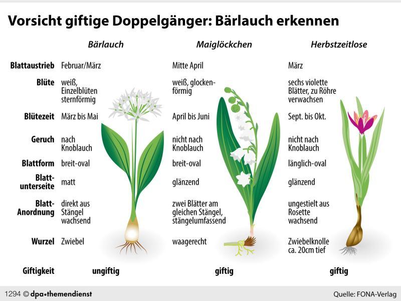 Die Unterscheidungsmerkmale von Bärlauch, Maiglöckchen und Herbstzeitlosen auf einen Blick. Foto: dpa-infografik GmbH/dpa-tmn