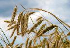 Weizenähren wachsen auf einem Feld der Agrargenossenschaft Ranzig in Brandenburg. Foto: Jens Kalaene/dpa-Zentralbild/dpa