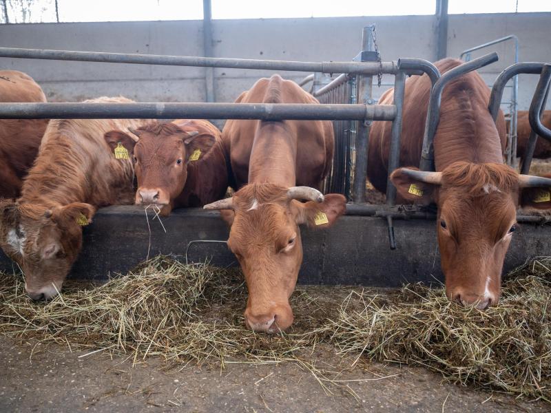 Kühe und Kälber auf Bioland-Hof Pfeifer. Foto: Sebastian Gollnow/dpa
