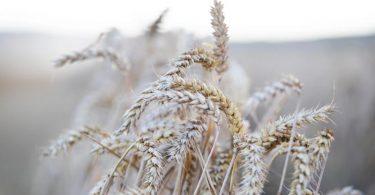In vielen Getreidesorten steckt Gluten. Foto: Tom Weller/dpa/dpa-tmn