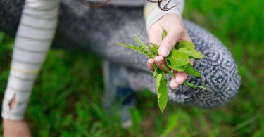 Wer Löwenzahn früh im Jahr pflückt, bekommt zarte Blätter mit weniger Bitterstoffen. Foto: Florian Schuh/dpa-tmn