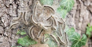 So sehen die Raupen des Eichenprozessionsspinners aus. Foto: Friso Gentsch/dpa/dpa-tmn