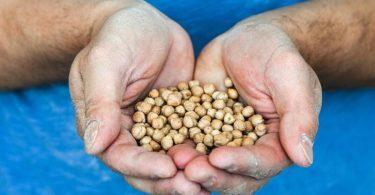 Die Firma Zeevi, die Kofu (Tofu aus Kichererbsen) produziert, wird ab Juli 2021 nur noch Kichererbsen aus Sachsen-Anhalt in Bio-Qualität verwenden. Foto: Jens Kalaene/dpa-Zentralbild/dpa