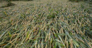 Teile eines Getreidefelds liegen nach mehreren Tagen mit Untwettern in Hessen umgeknickt auf der Erde. Foto: Sebastian Gollnow/dpa
