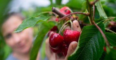 Zugreifen erlaubt: Kirschen sind ein idealer Snack für zwischendurch. Foto: Klaus-Dietmar Gabbert/dpa-tmn