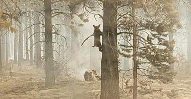 Ein Bärenjunges klammert sich an einem Baum fest. Foto: Bryan Daniels/Bootleg Fire Incident Command/AP/dpa