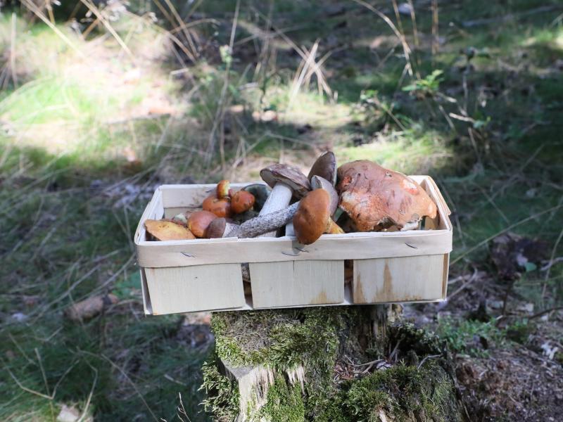 Pilzsammler blicken zuversichtlich in den Herbst. Genügend Feuchtigkeit für den Waldboden und keine langen Trockenperioden lassen die Chancen gut stehen. Foto: Bodo Schackow/dpa-Zentralbild/dpa
