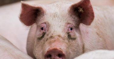 Afrikanische Schweinepest und die Folgen der Gastro-Schließungen in der Corona-Zeit machen es den Bauern schwer. Foto: Andreas Arnold/dpa