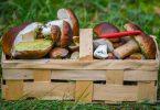 Pilzsammler sollten sich nicht allein auf eine Handy-App verlassen, warnt die Verbraucherzentrale Sachsen-Anhalt. Auch Geruch und Konsistenz seien für eine richtige Bestimmung wichtig. Foto: Patrick Pleul/dpa-Zentralbild/dpa-tmn