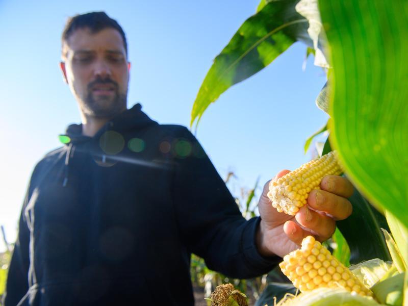 Ackerbauer Phillip Krainbring begutachtet die Pflanzen. Neben Zuckermais möchte er in großem Stil Maissorten direkt für Verbraucher produzieren. Foto: Klaus-Dietmar Gabbert/dpa-Zentralbild/dpa
