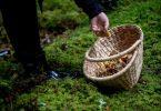 Das Bundesamt für Strahlenschutz macht Sammler auf radioaktiv belastete Pilze aufmerksam. Foto: Zacharie Scheurer/dpa-tmn/Archivbild