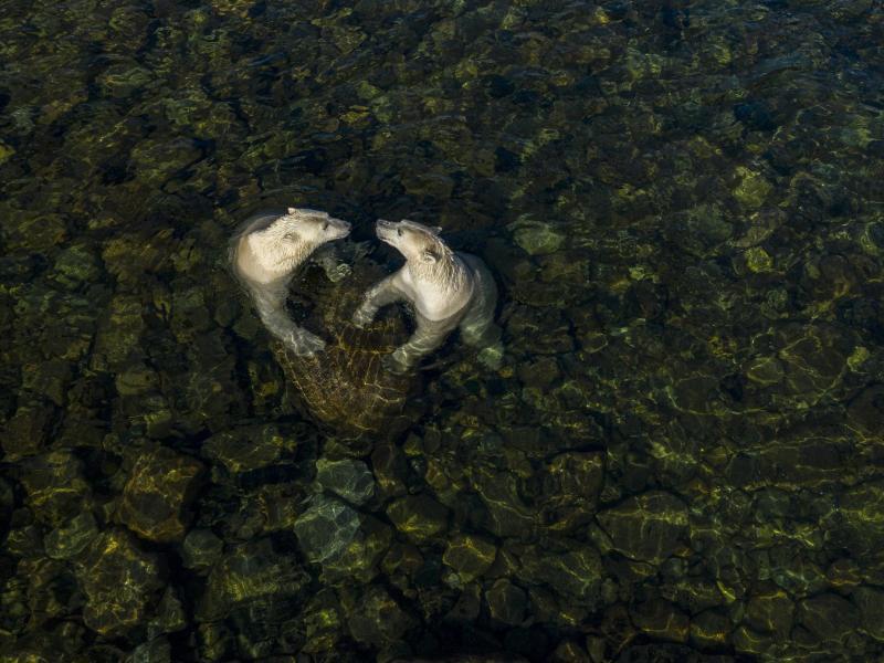"Kategorie ""Rising Star"":Eisbären gehen im Sommer in Kanada an Land. Foto: Martin Gregus//Wildlife Photographer of the Year/PA Media /dpa"