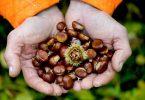 Die Esskastanie wird auch Edelkastanie genannt. Sie gehört zu den Buchengewächsen, ihre Früchte zählen botanisch zu den Nüssen, wie Haselnüsse oder Walnüsse. Foto: Arno Burgi/dpa-Zentralbild/dpa-tmn